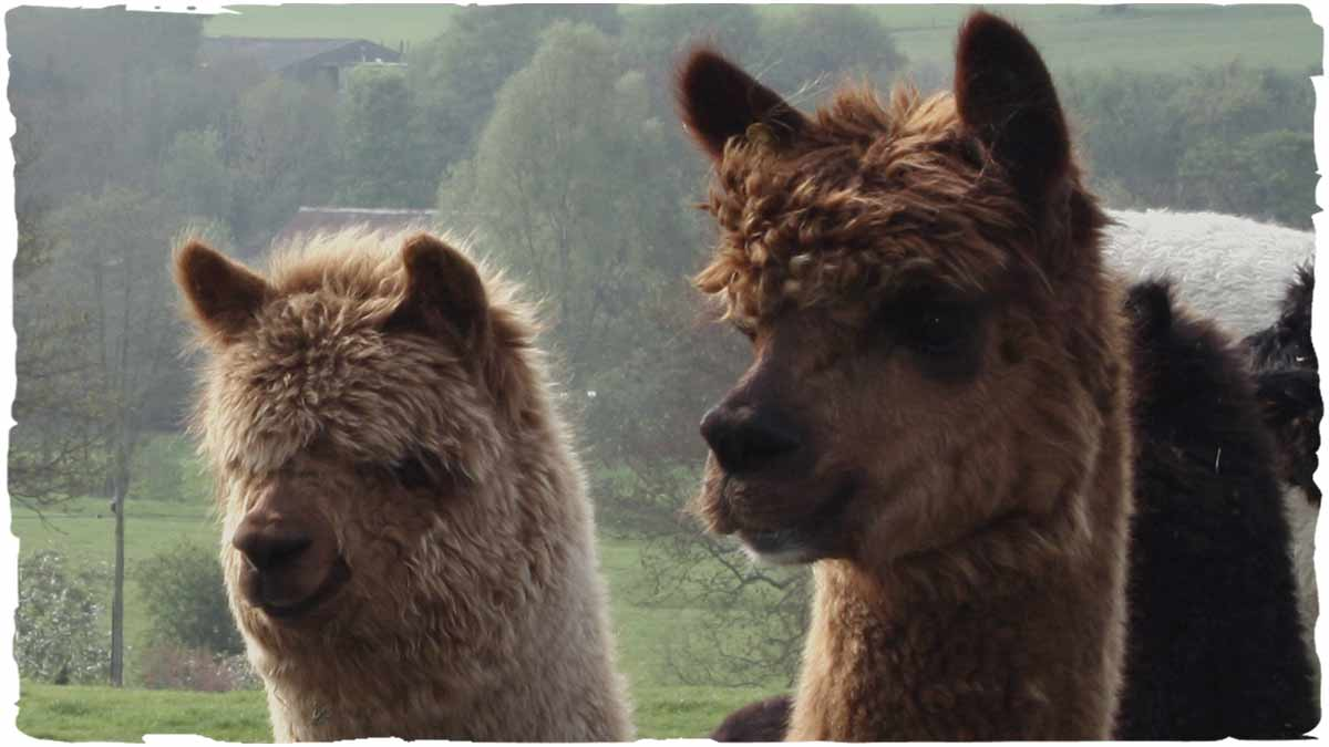 alpaca lana vendita